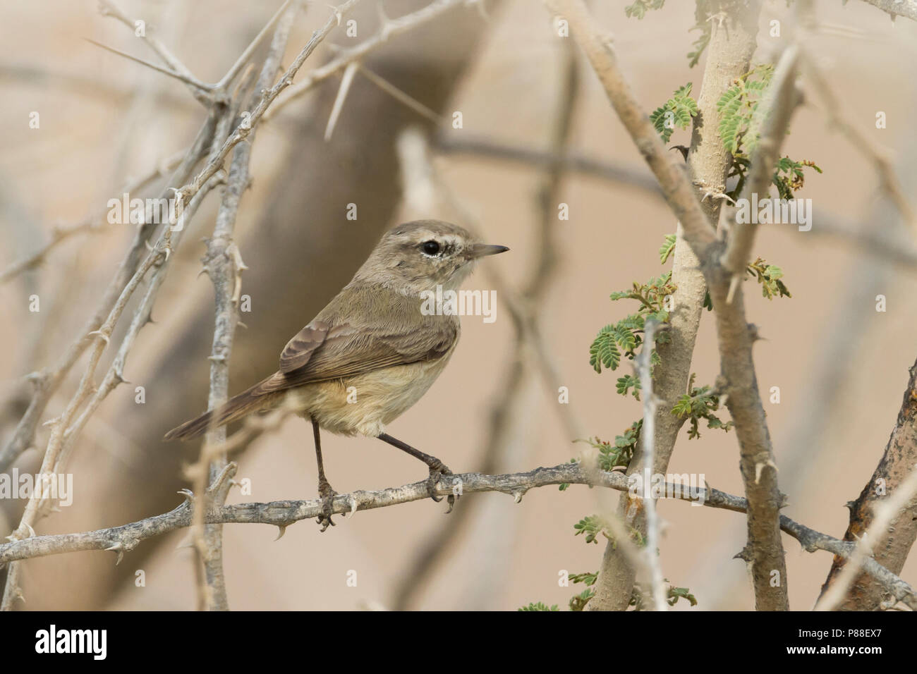 Plain-leaf Warbler - Eichenlaubsänger - Phylloscopus neglectus, Oman, adult Stock Photo