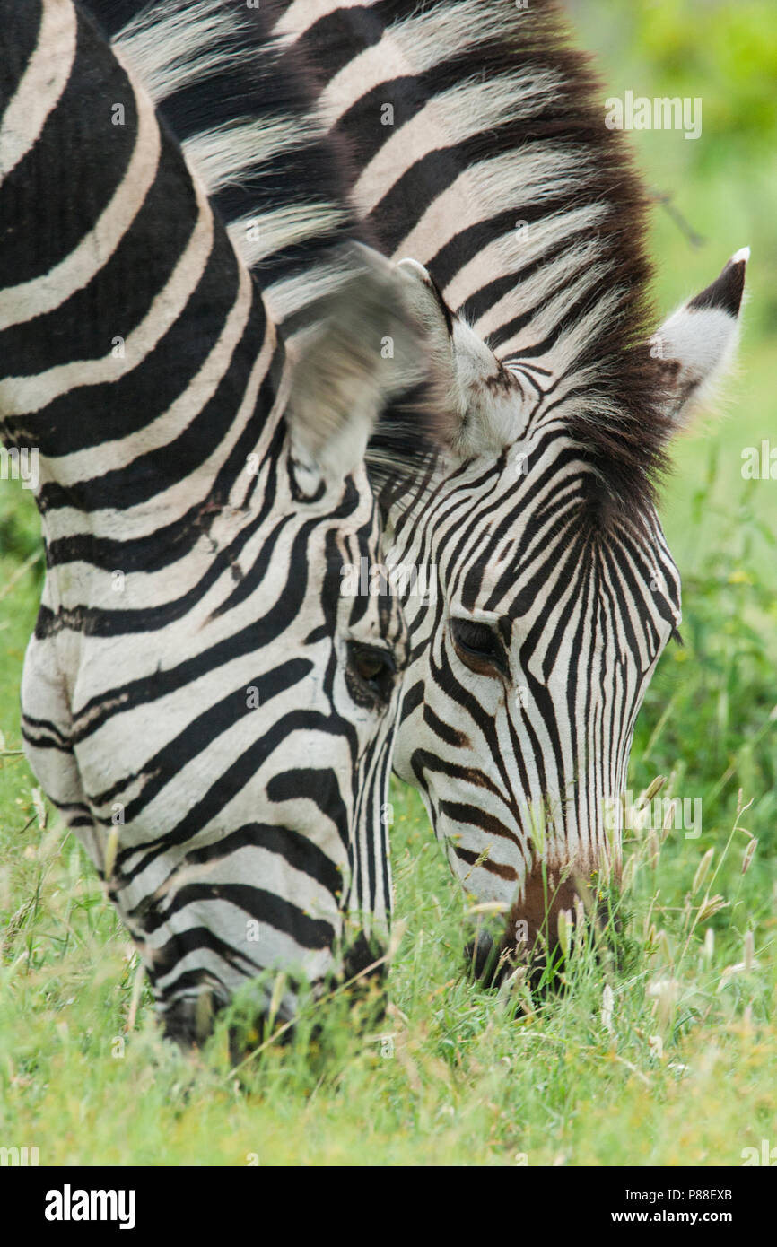 Plains Zebra - Stock Image