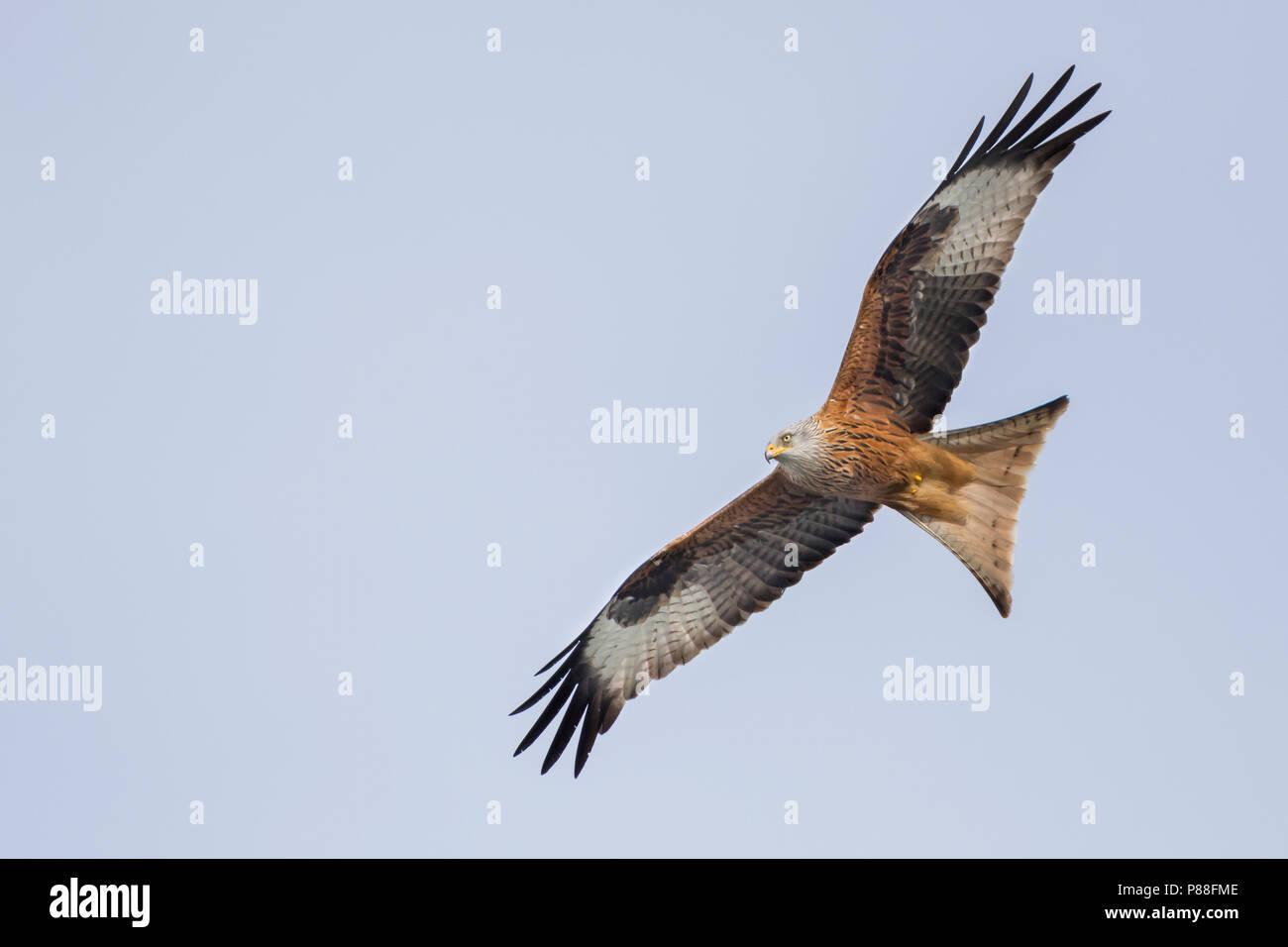 Red Kite - Rotmilan - Milvus milvus, Germany, 2nd cy Stock Photo