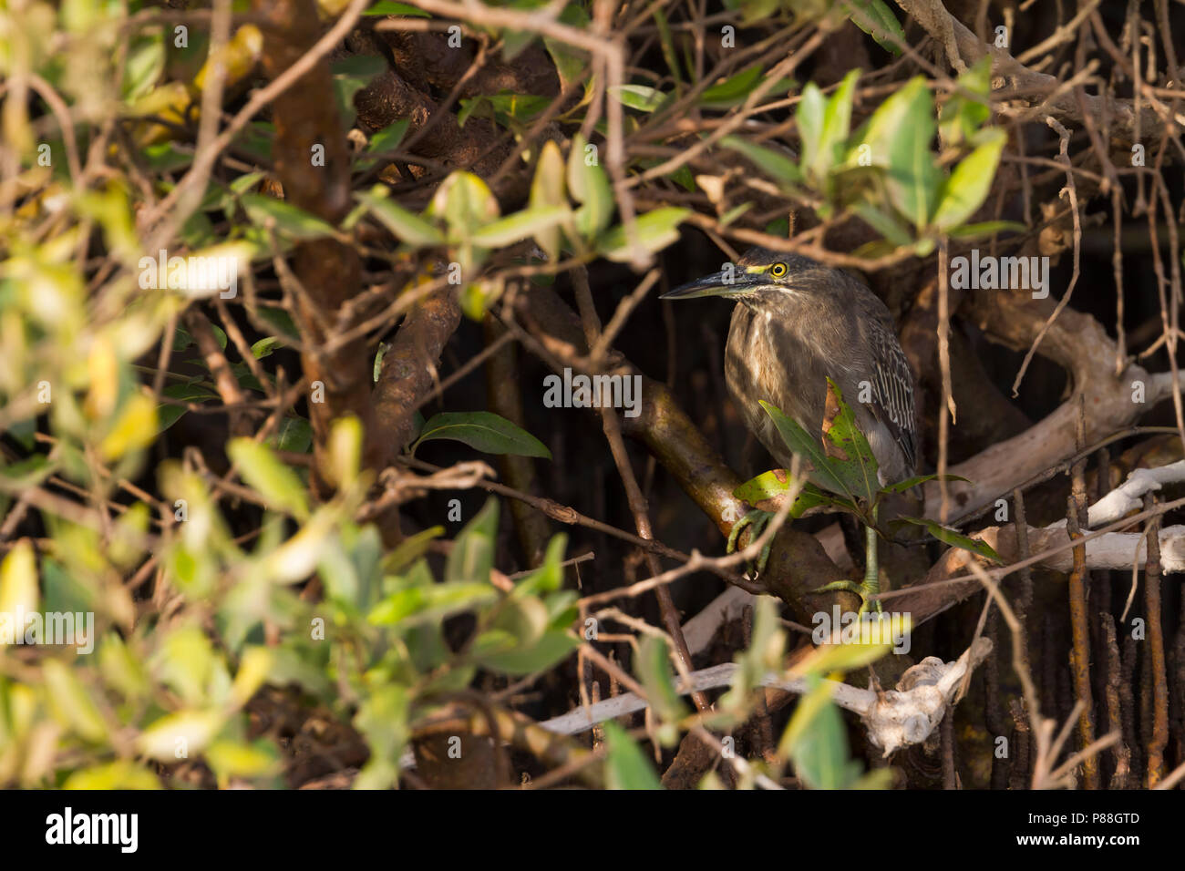 Striated Heron - Mangrovereiher - Butorides striata ssp. brevipes, Oman, 2nd cy - Stock Image