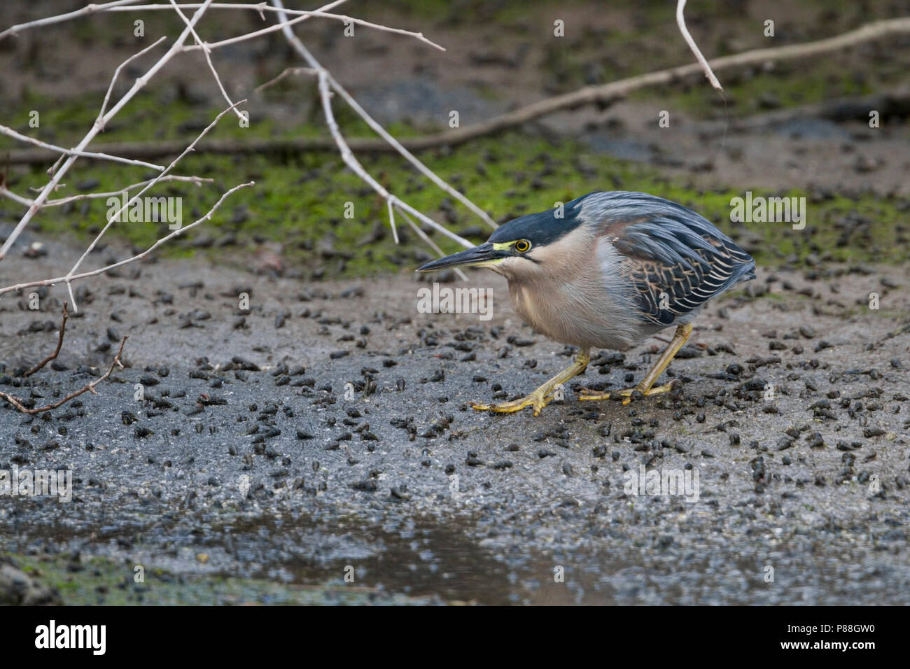 Striated Heron - Mangrovereiher - Butorides striata ssp. brevipes, Oman, adult - Stock Image