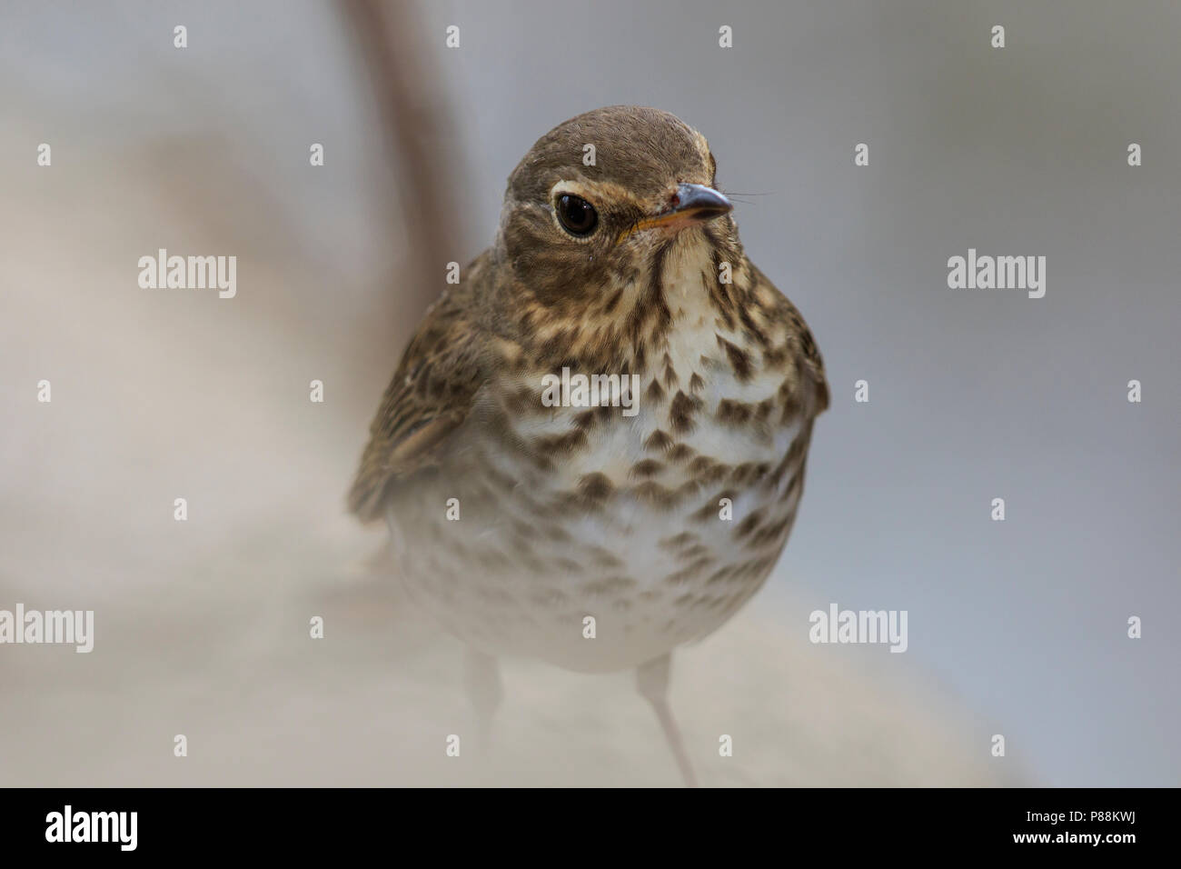 Swainson's thrush (Catharus ustulatus) Stock Photo