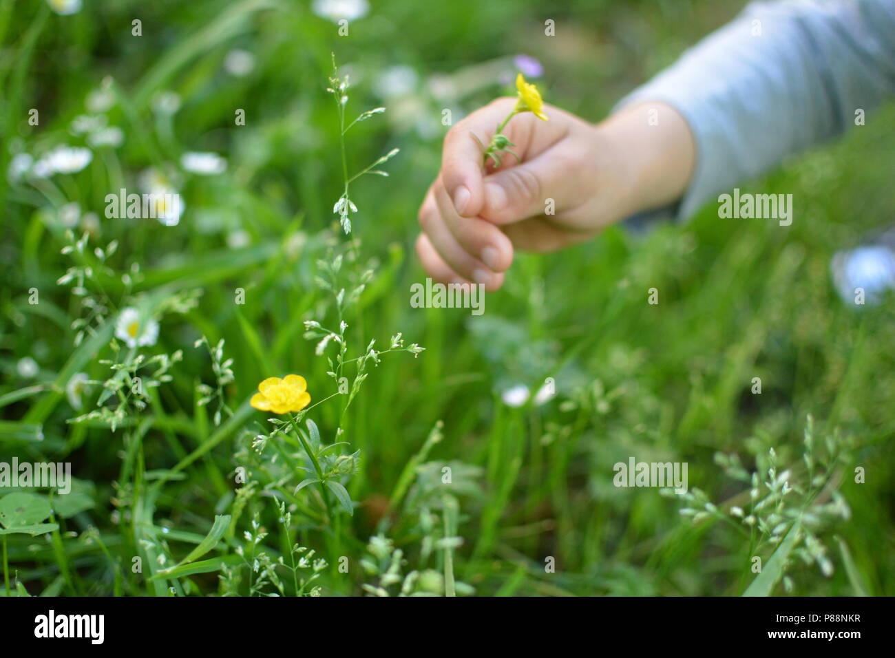 A CHILD HAND GRABING A YELLOW FLOWER Stock Photo