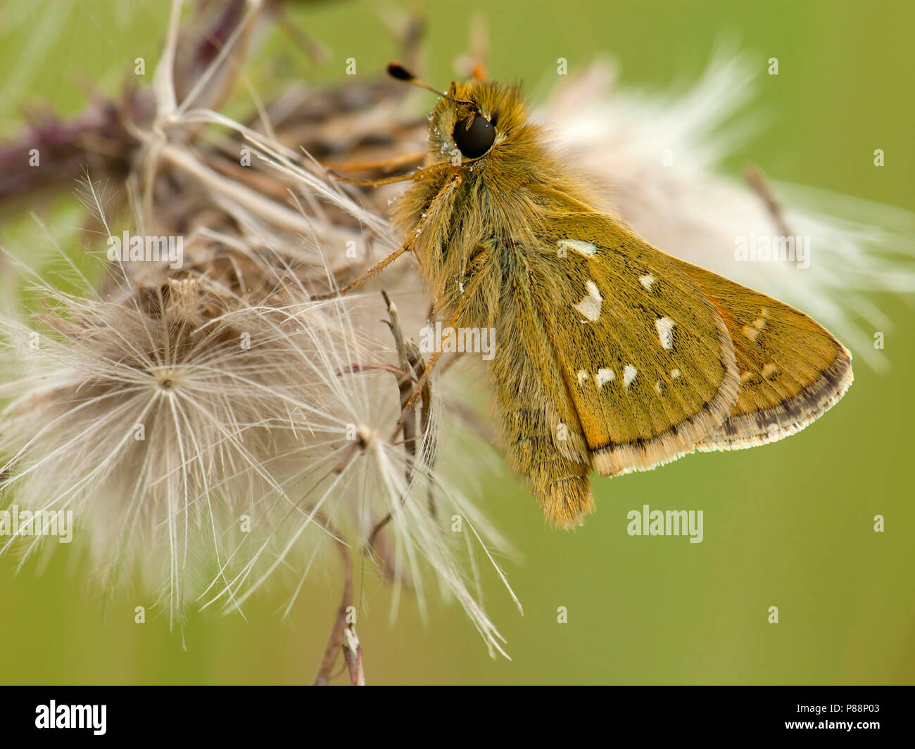 Kommavlinder / Silver-spotted Skipper (Hesperia comma) Stock Photo