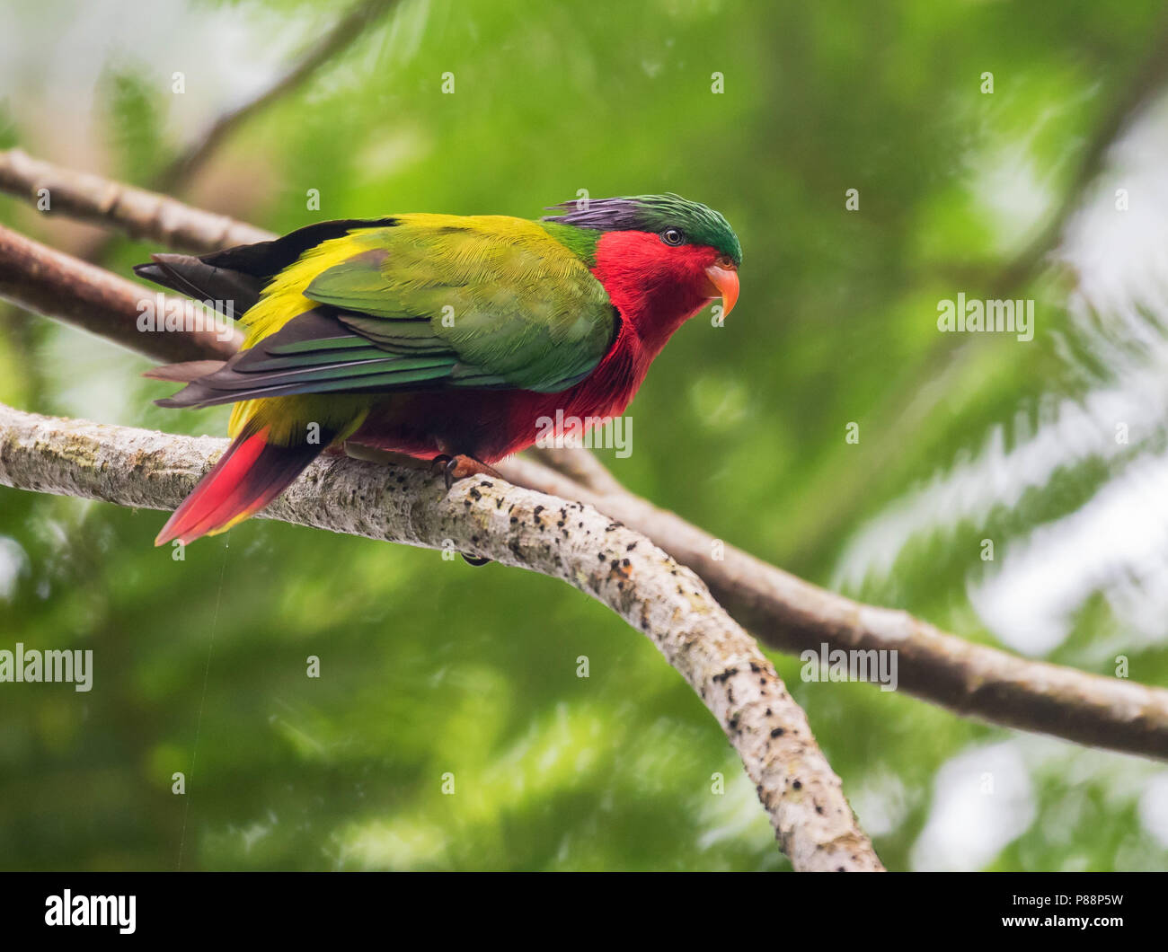 Kuhl's Lorikeet (Vini kuhlii). Now reintroduced, by the Cook Islands Natural Heritage Trust and numerous conservation bodies, to Atiu in the Cook Isla - Stock Image