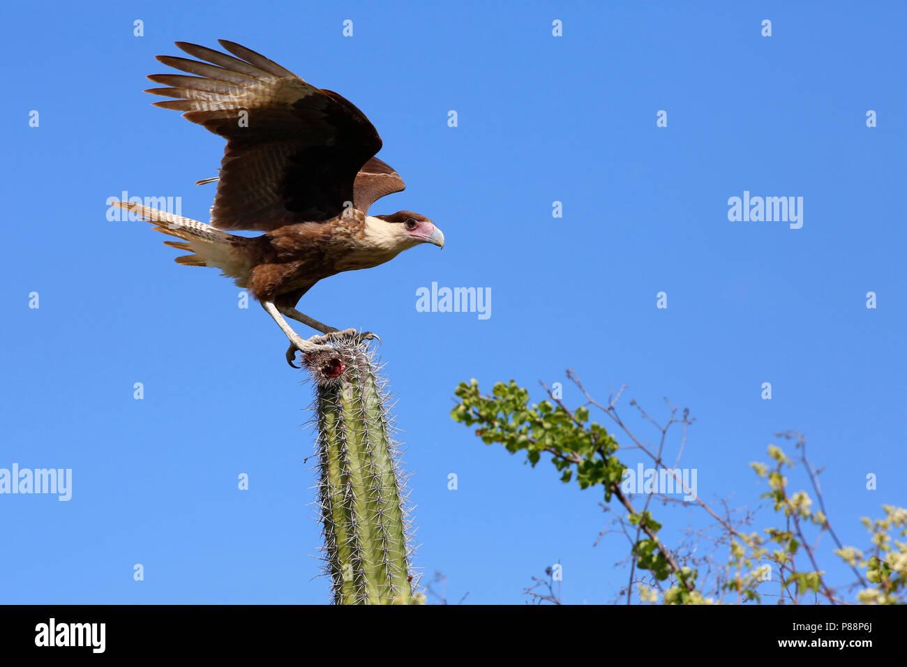 kuifcaracara op een cactus; Crested Caracara on a cactus Stock Photo