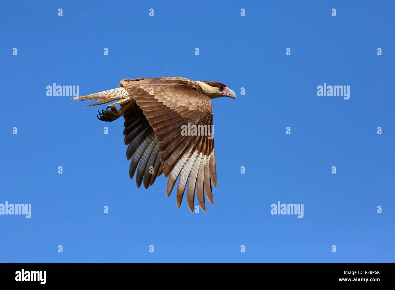 vliegende kuifcaracara; flying Crested Caracara Stock Photo