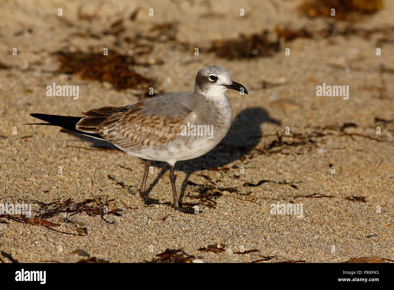 Lachmeeuw; Laughing Gull; - Stock Image