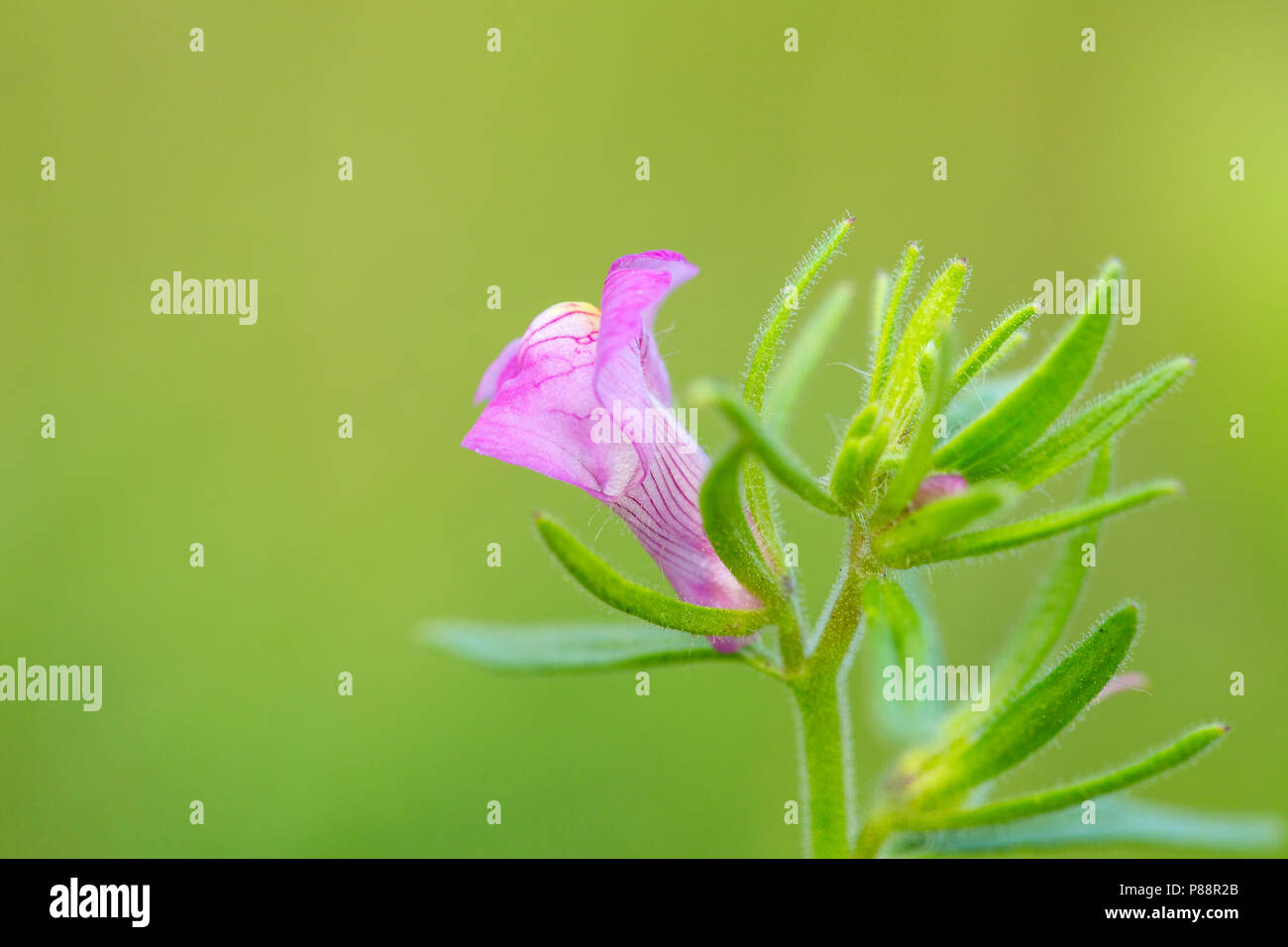 Akkerleeuwenbek, Lesser Snapdragon, Misopates orontium Stock Photo