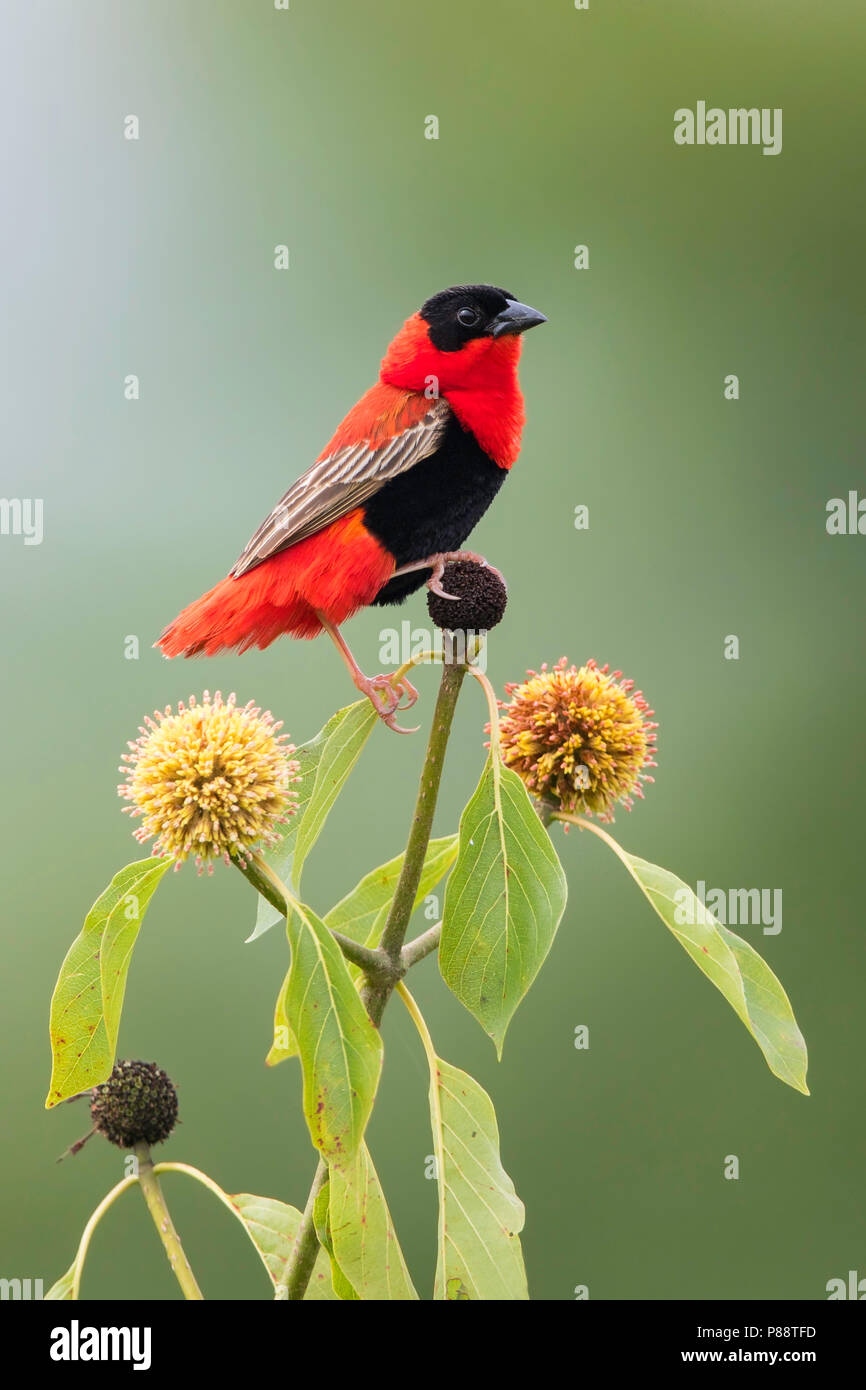 Northern Red Bishop (Euplectes franciscanus perched on a plant. - Stock Image