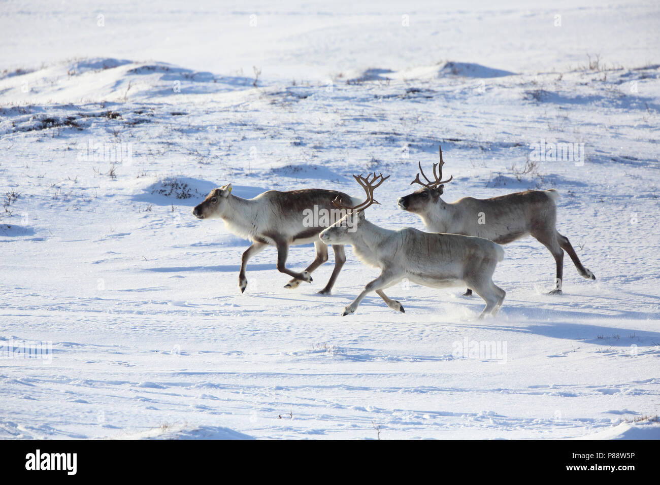 Drie rennende Rendieren; Three running Reindeers - Stock Image