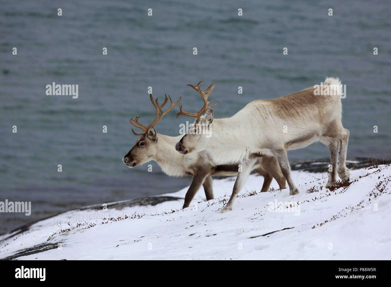Twee Rendieren; Two Reindeers - Stock Image