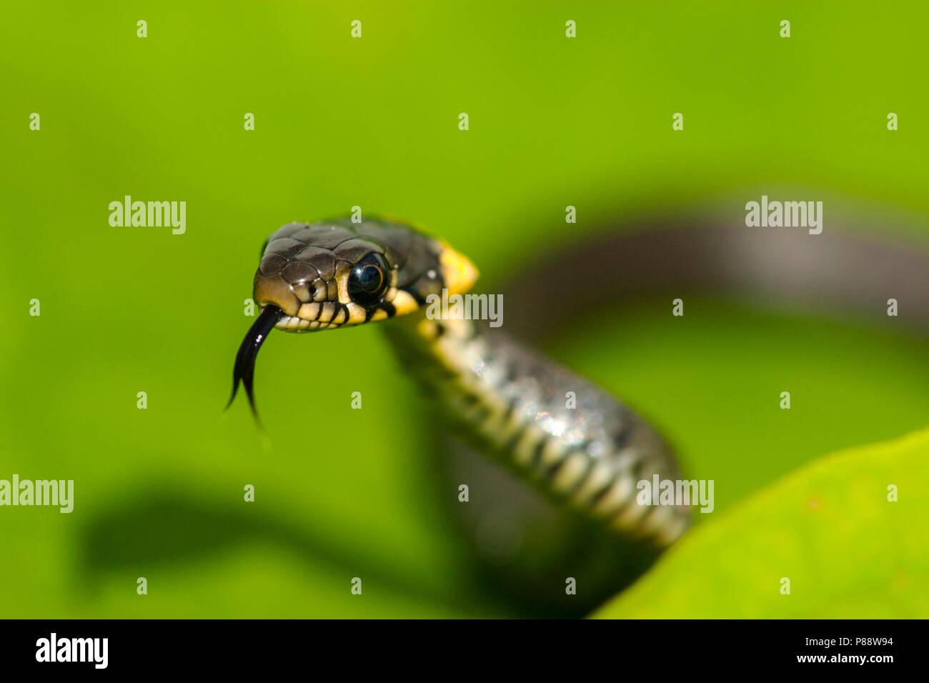 Ringslang, European Grass Snak, Natrix natrix Stock Photo