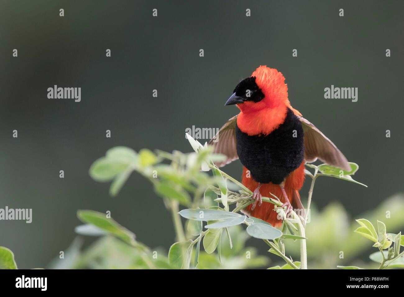 Male Northern Red Bishop (Euplectes franciscanus) in breeding plumage - Stock Image