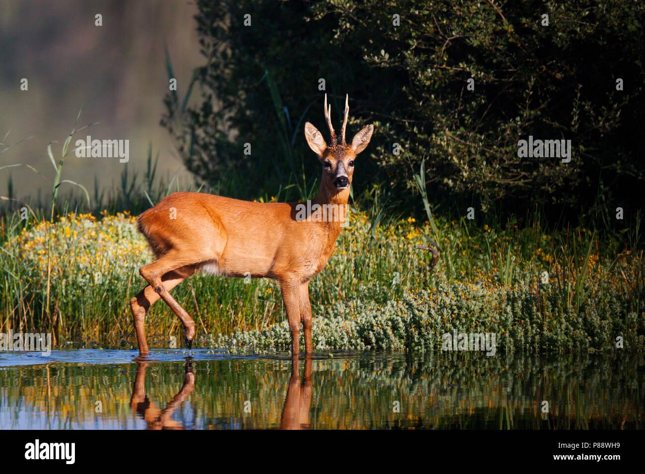 Mannetje Ree lopend, stappend door ondiep water van ven de Banen ; Male Roe deer walking, stepping through shalow water of fen - Stock Image