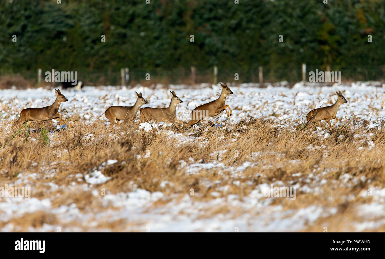 Groepje van vijf Ree rennend over besneeuwde graanakker in Hamsterreservaat;Group of five Roe Deer running over a snow covered field - Stock Image