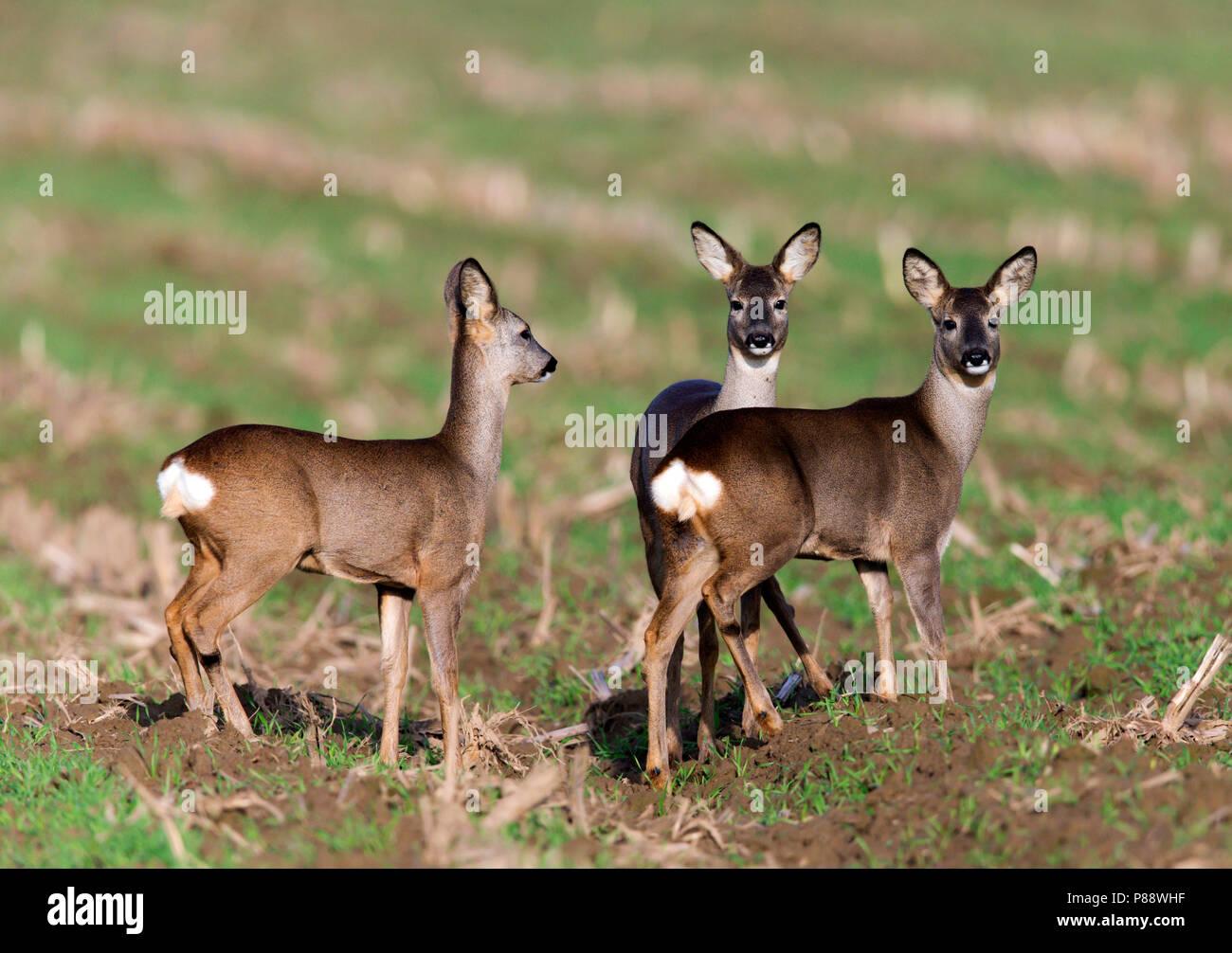 Groepje van drie Ree op akker;Group of three Roe Deer standing on arable field Stock Photo