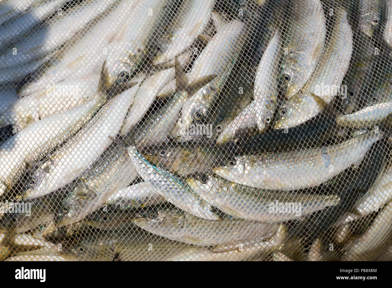 Sardines in a fishnet, Oman - Stock Image