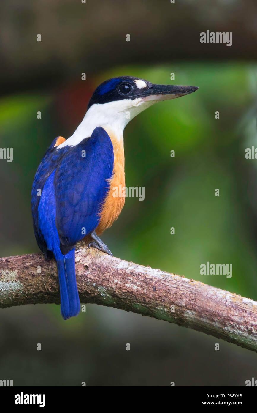 Vanuatu Kingfisher (Todiramphus farquhari) a species endemic to Vanuata archipel. It is found only on the islands of Espiritu Santo, Malo and Malakula - Stock Image