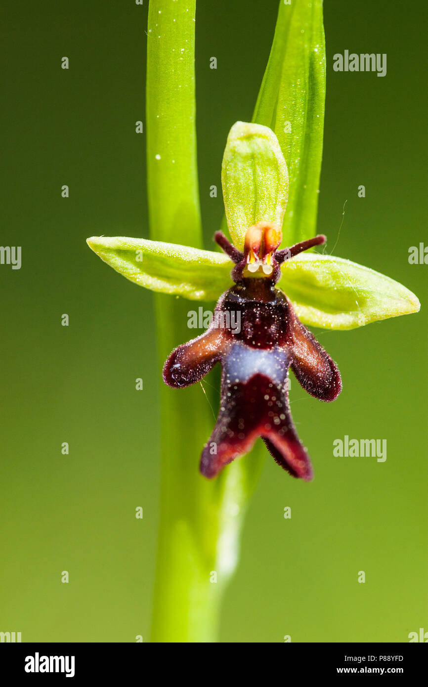 Vliegenorchis, Fly Orchid - Stock Image