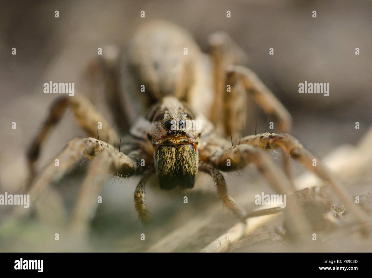 Wolfspin onbekend, Pardosa spec, Wolf Spider unknown - Stock Image