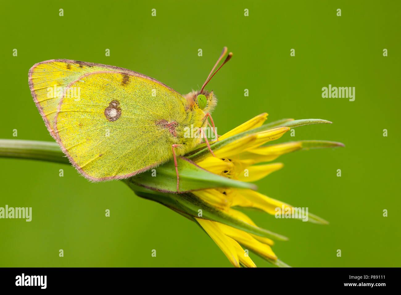 Zuidelijke luzernevlinder / Berger's Clouded Yellow (Colias alfacariensis) Stock Photo