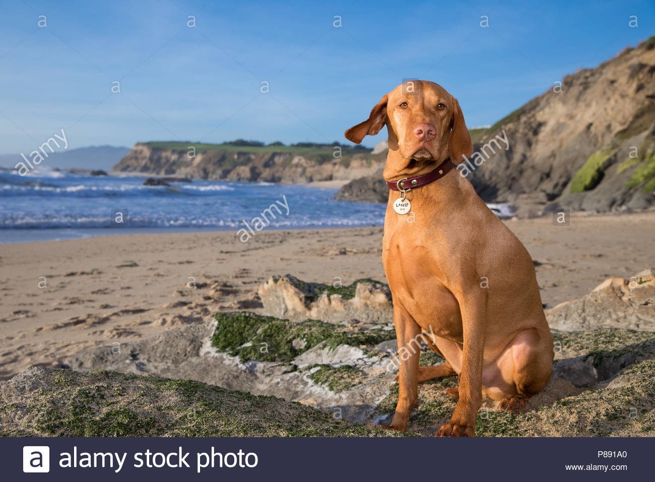 Stoic looking Hungarian Vizsla sitting on rock at the beach with the surf and cliffs in the background - Stock Image
