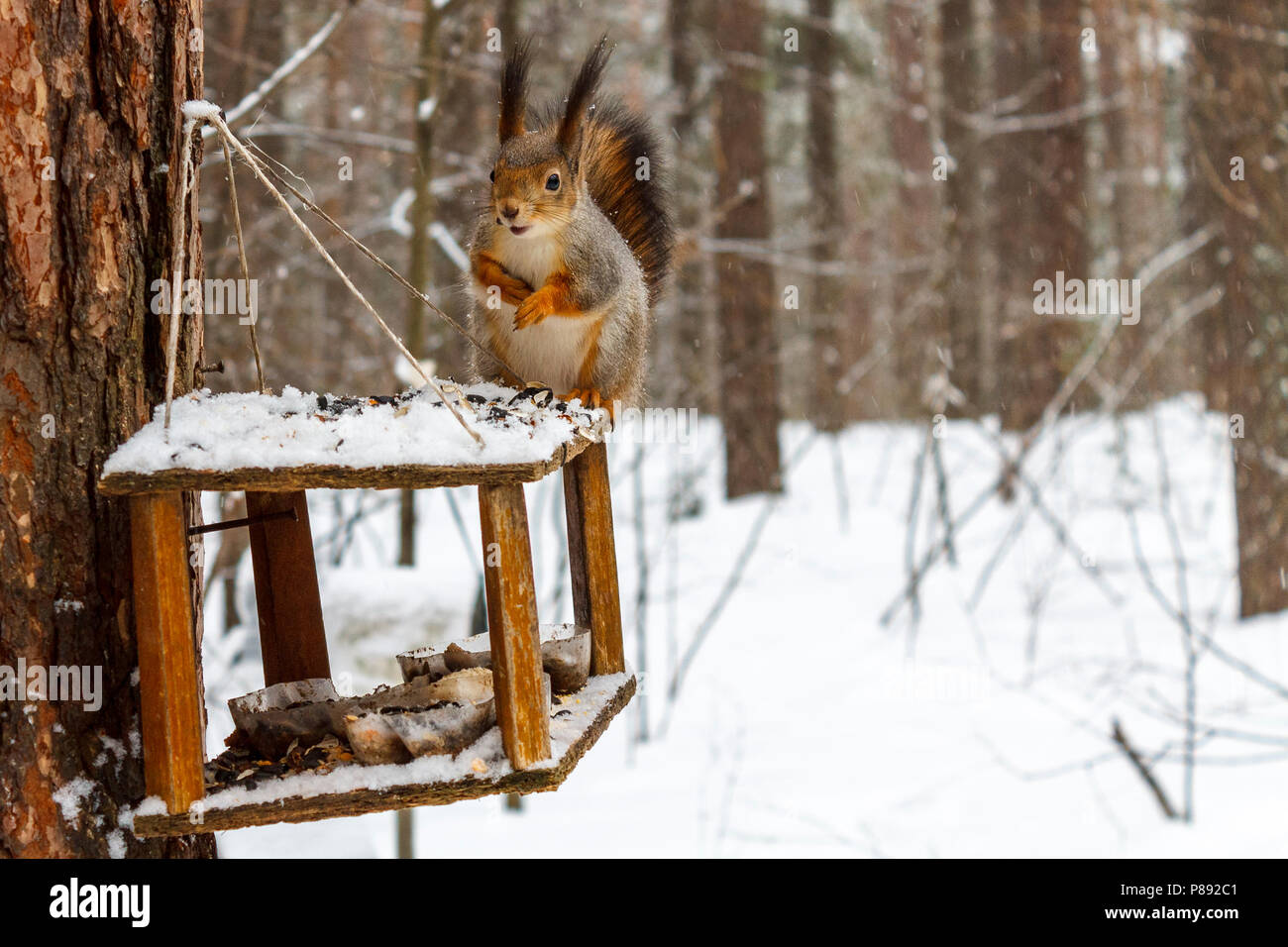 Red squirrel in the winter forest sits on the feeder and there are sunflower seeds. - Stock Image