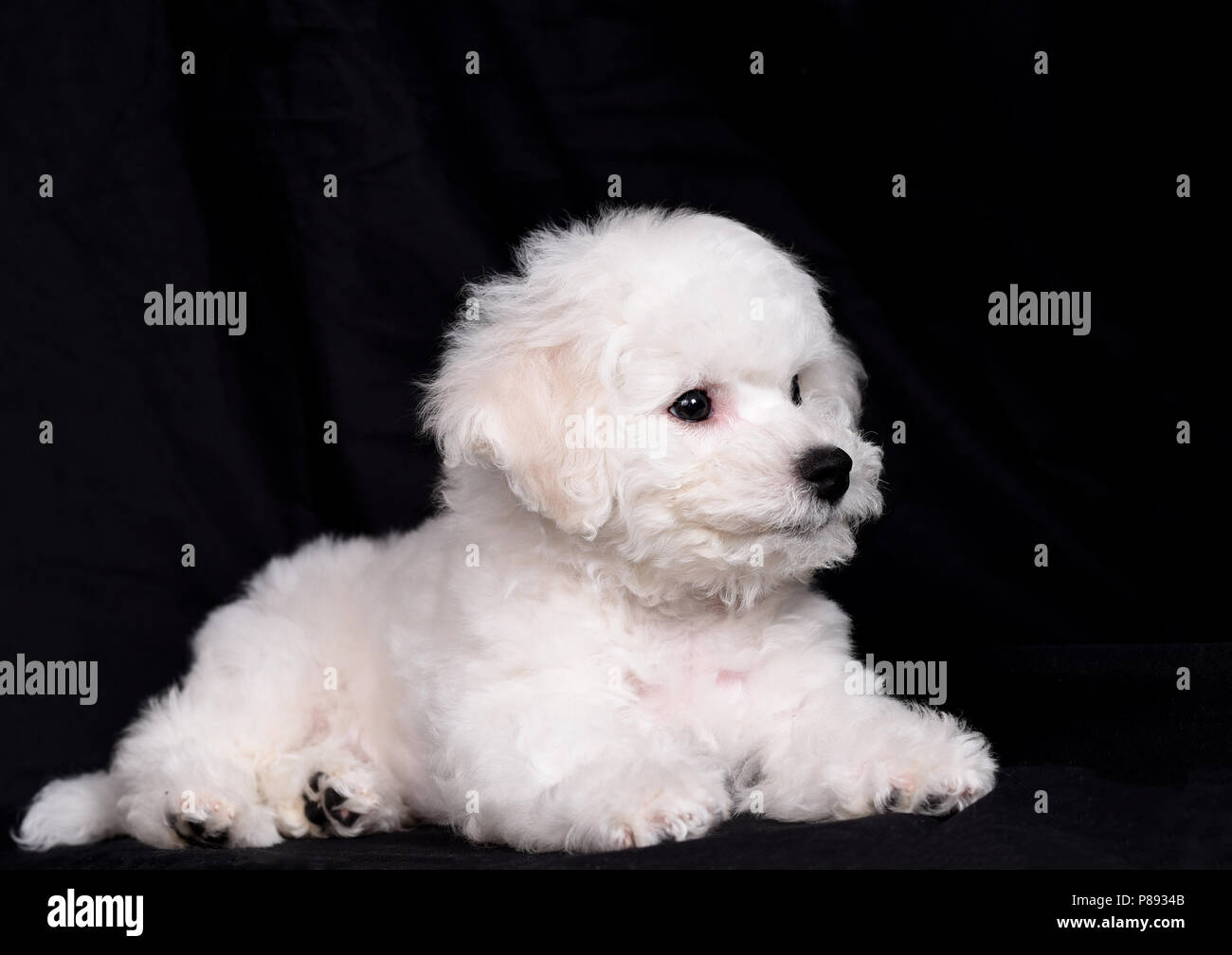Bichon Frise (curly lap dog) puppy. A small breed of dog of the Bichon type. The Bichon Frise is a member of the Non-Sporting Group of dog breeds in t - Stock Image