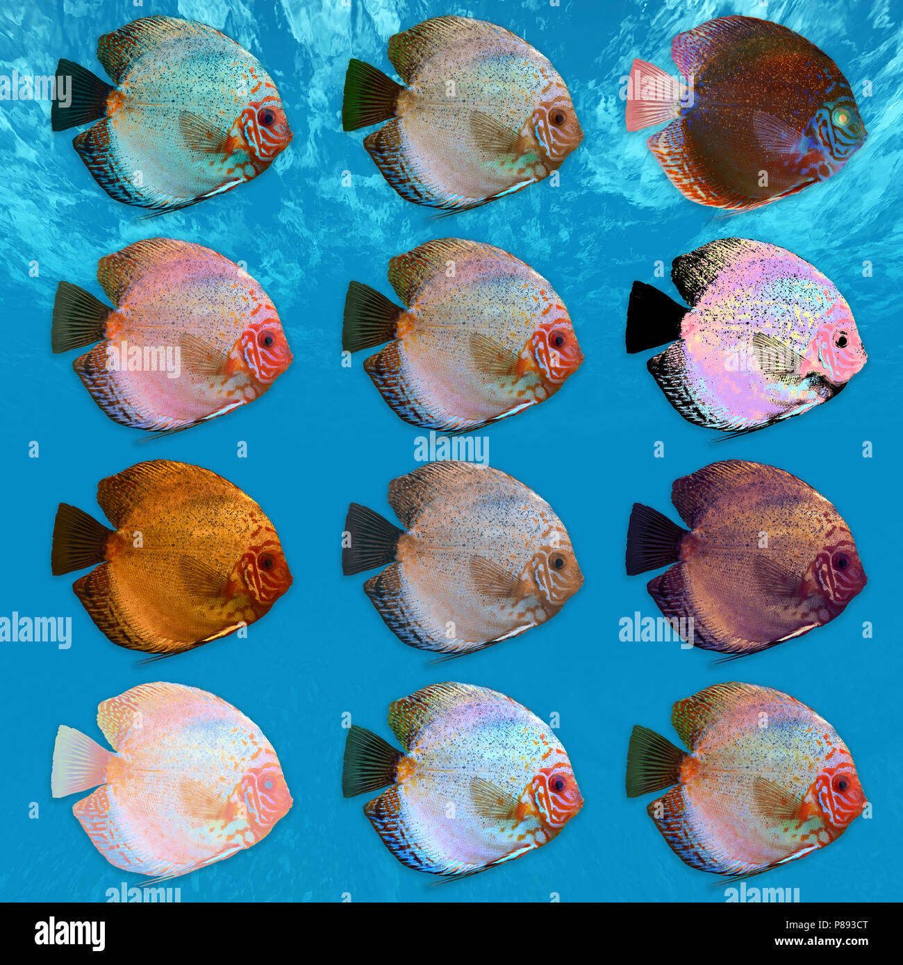 Digitally enhanced image of 12 color variations of Symphysodon, (colloquially known as discus) fresh water aquarium fish. - Stock Image