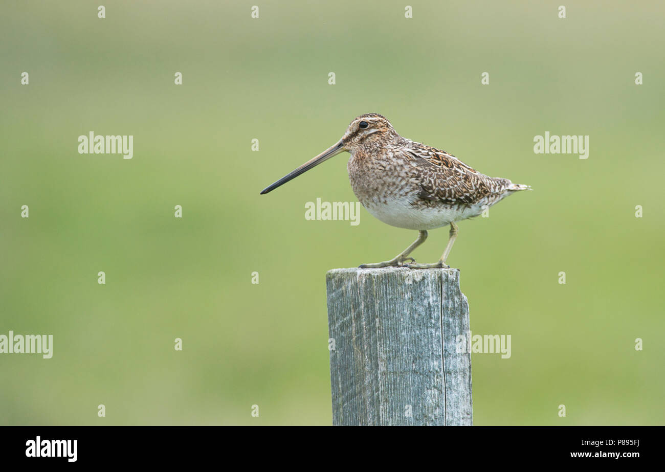 Common snipe (Gallinago gallinago) perched on a fence post - Stock Image