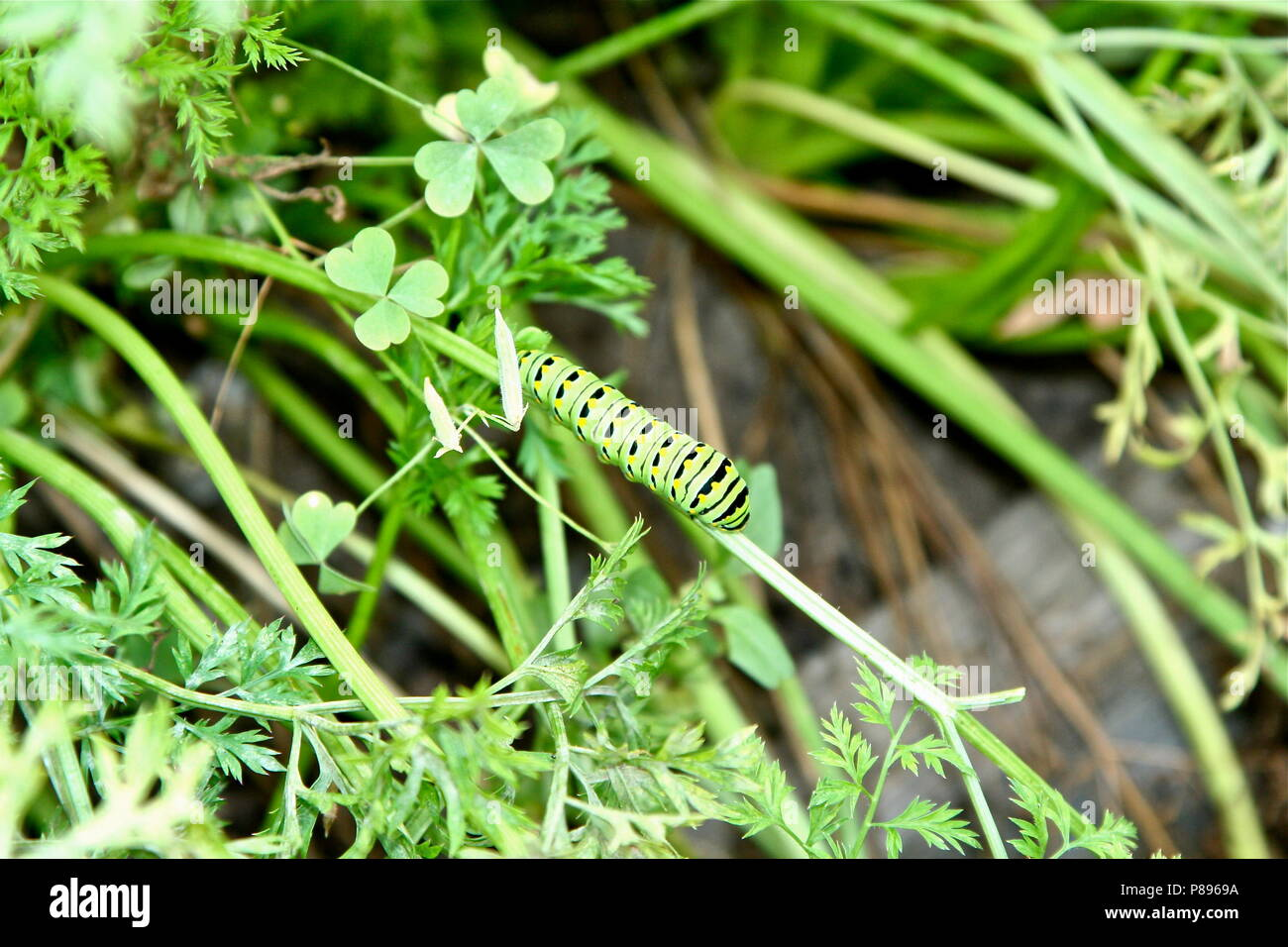 Black Swallowtail Caterpillar - Stock Image
