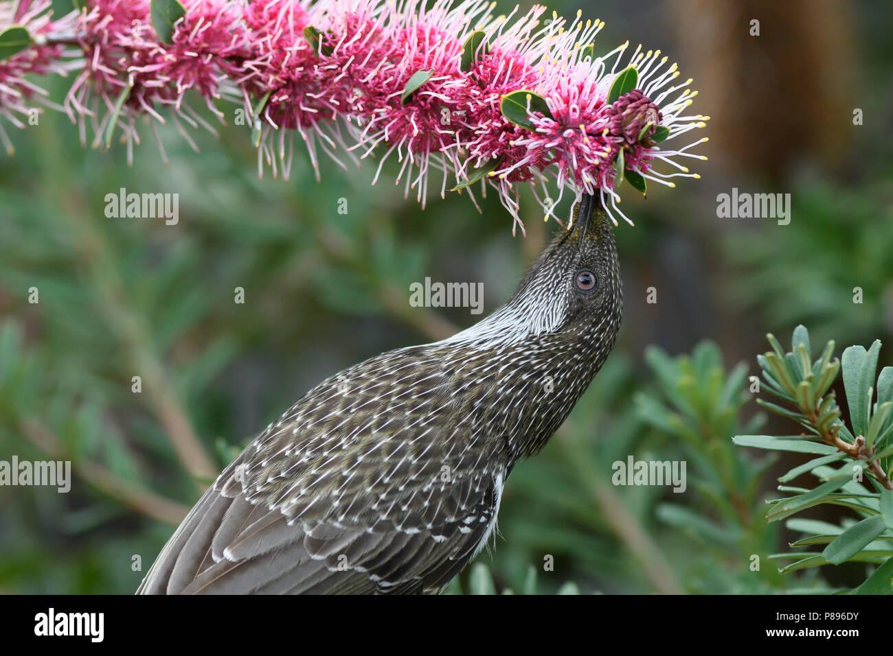 Little Wattlebird feeding on Hakea flowers. - Stock Image
