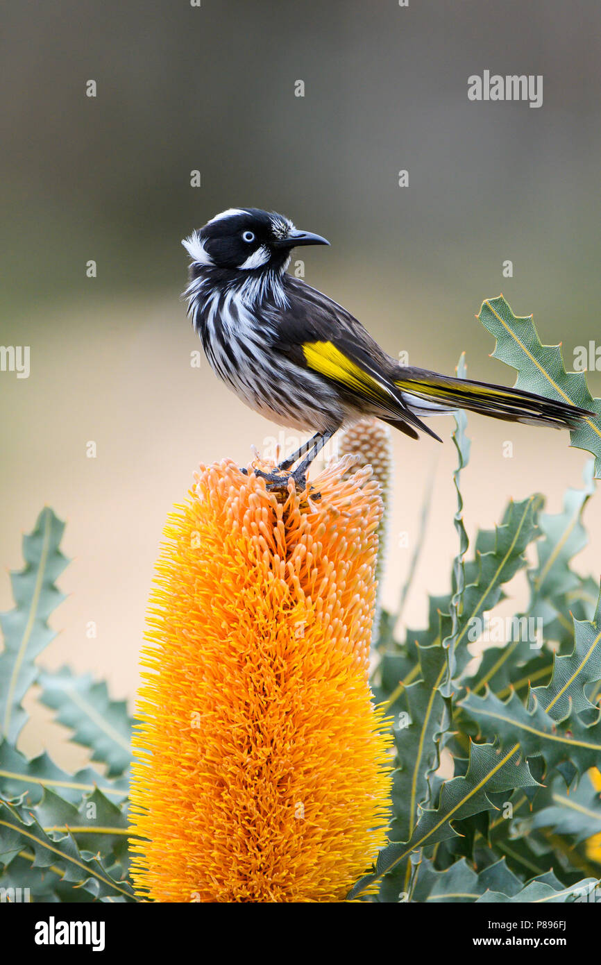 A New Holland Honeyeater on Banksia flower. - Stock Image