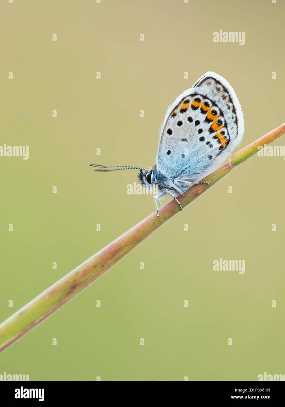 Een rustend heideblauwtje in de Eifel / A resting silver-stunned blue in the Eifel - Stock Image
