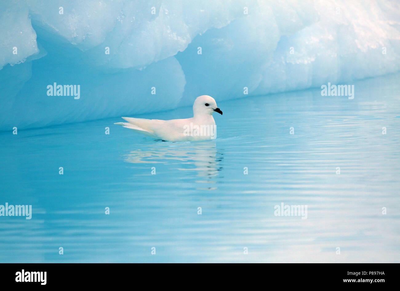 Snow Petrel (Pagodroma nivea) - Stock Image