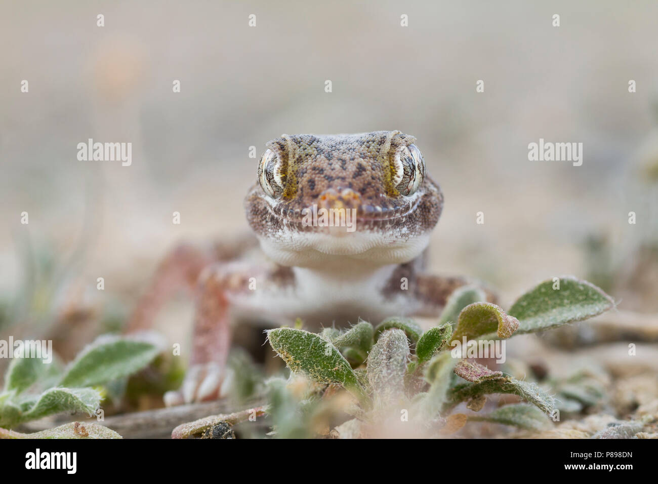 Southern short-fingered Gecko - Stenodactylus leptocosymbotes Stock Photo