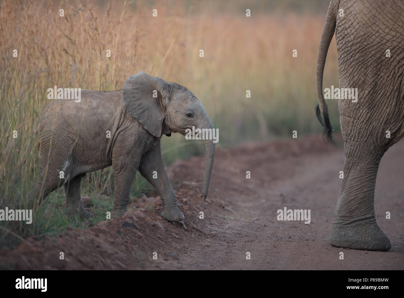 Elephant calf following her mother in the bush of Kruger wilderness Stock Photo