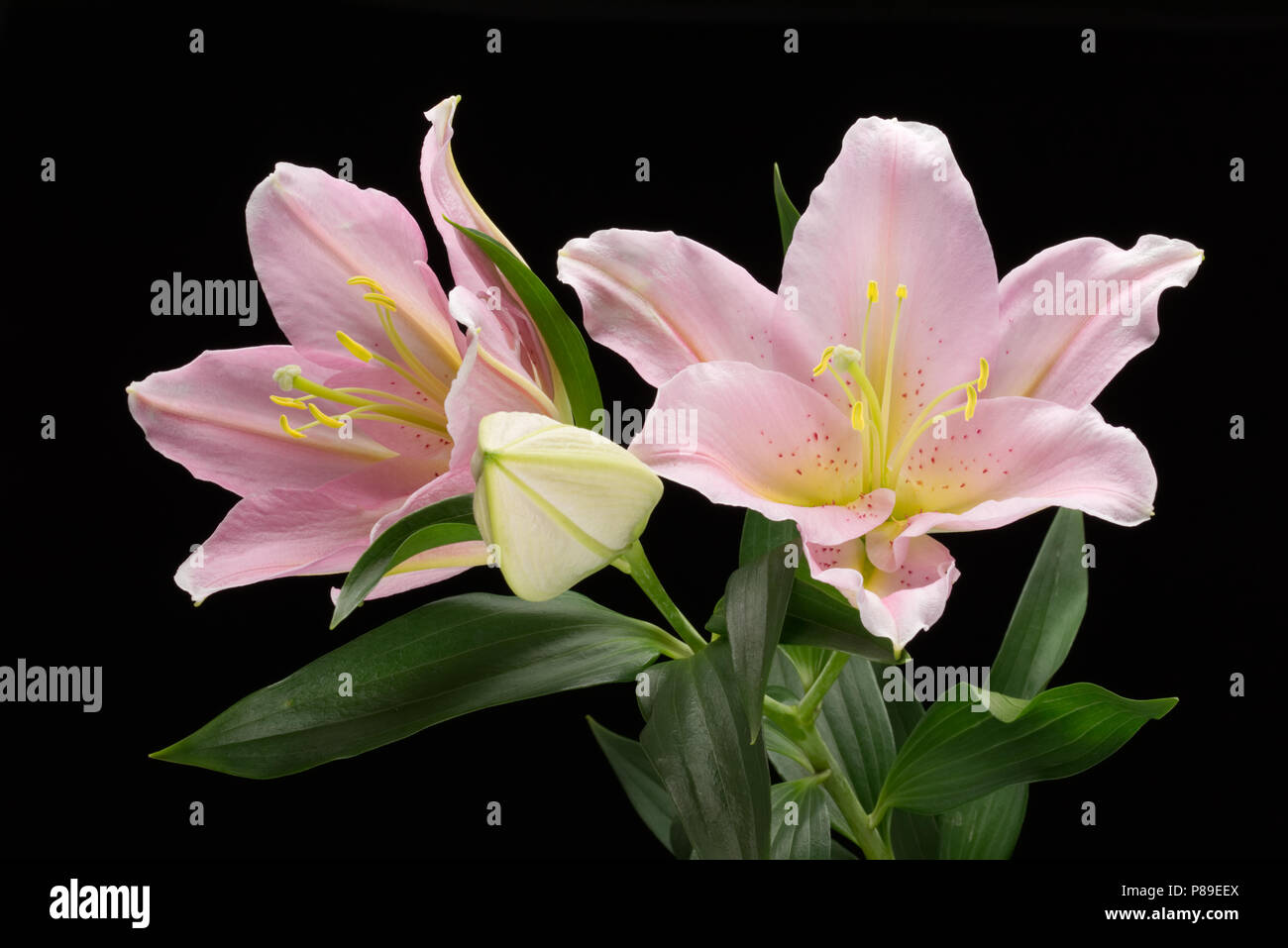 Pink Lilies Isolated On A Black Background Lilium Lilieae