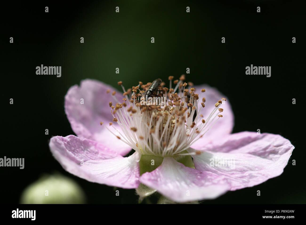 Kleiner Käfer auf einer Himbeerblüte,Makro - Stock Image