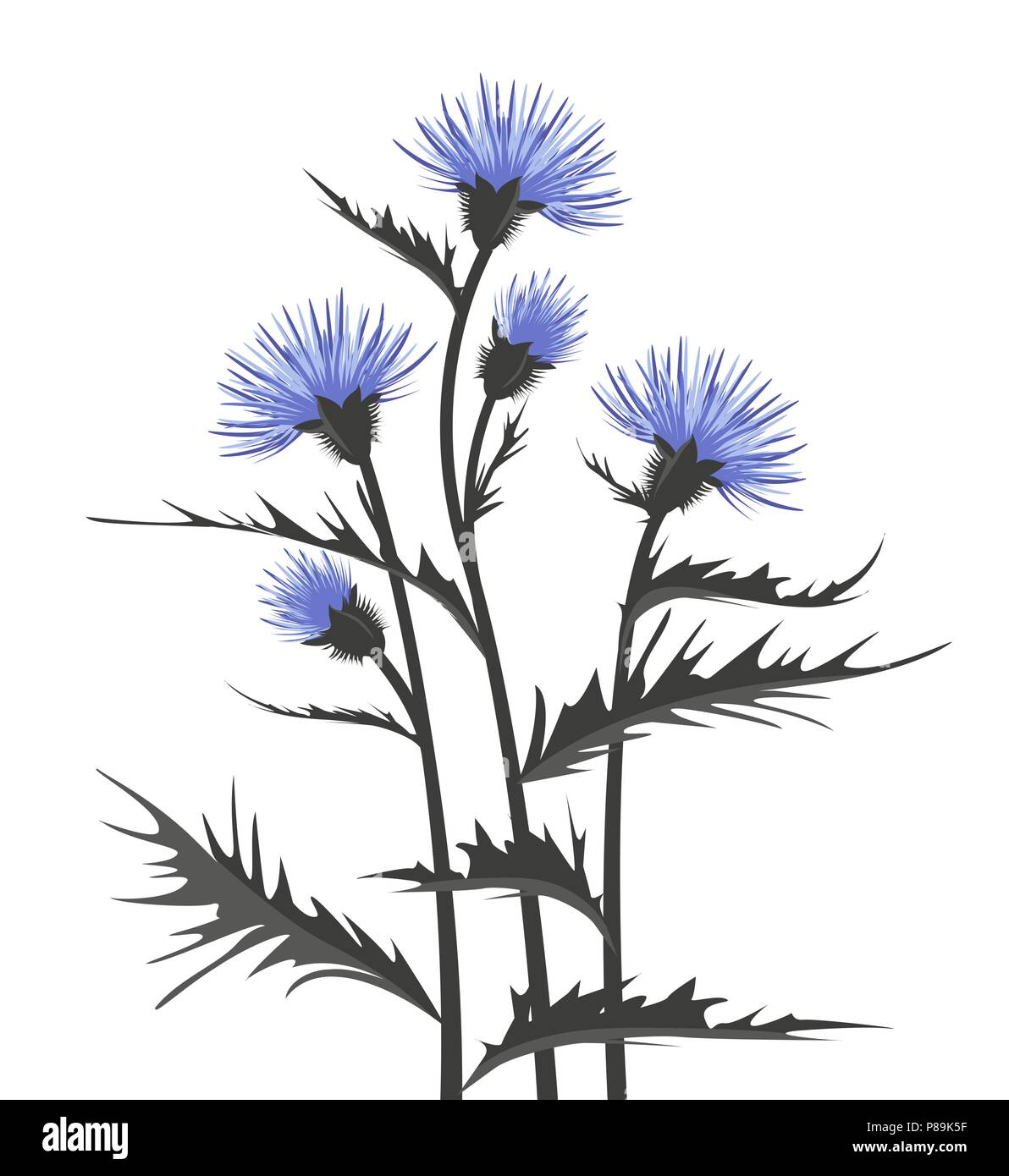 Vector Illustration thistle with leaves on a white background - Stock Image