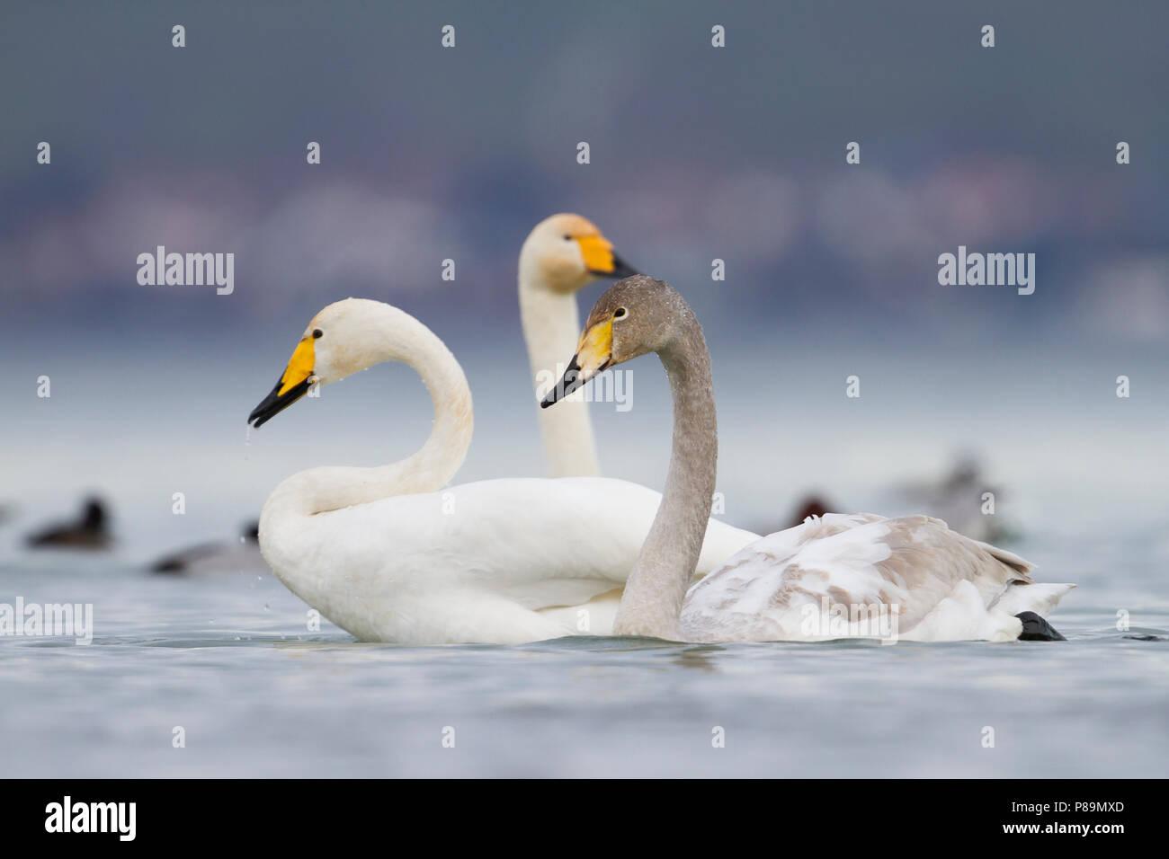 Whooper Swan - Singschwan - Cygnus cygnus, Switzerland, 2nd cy with adult Stock Photo