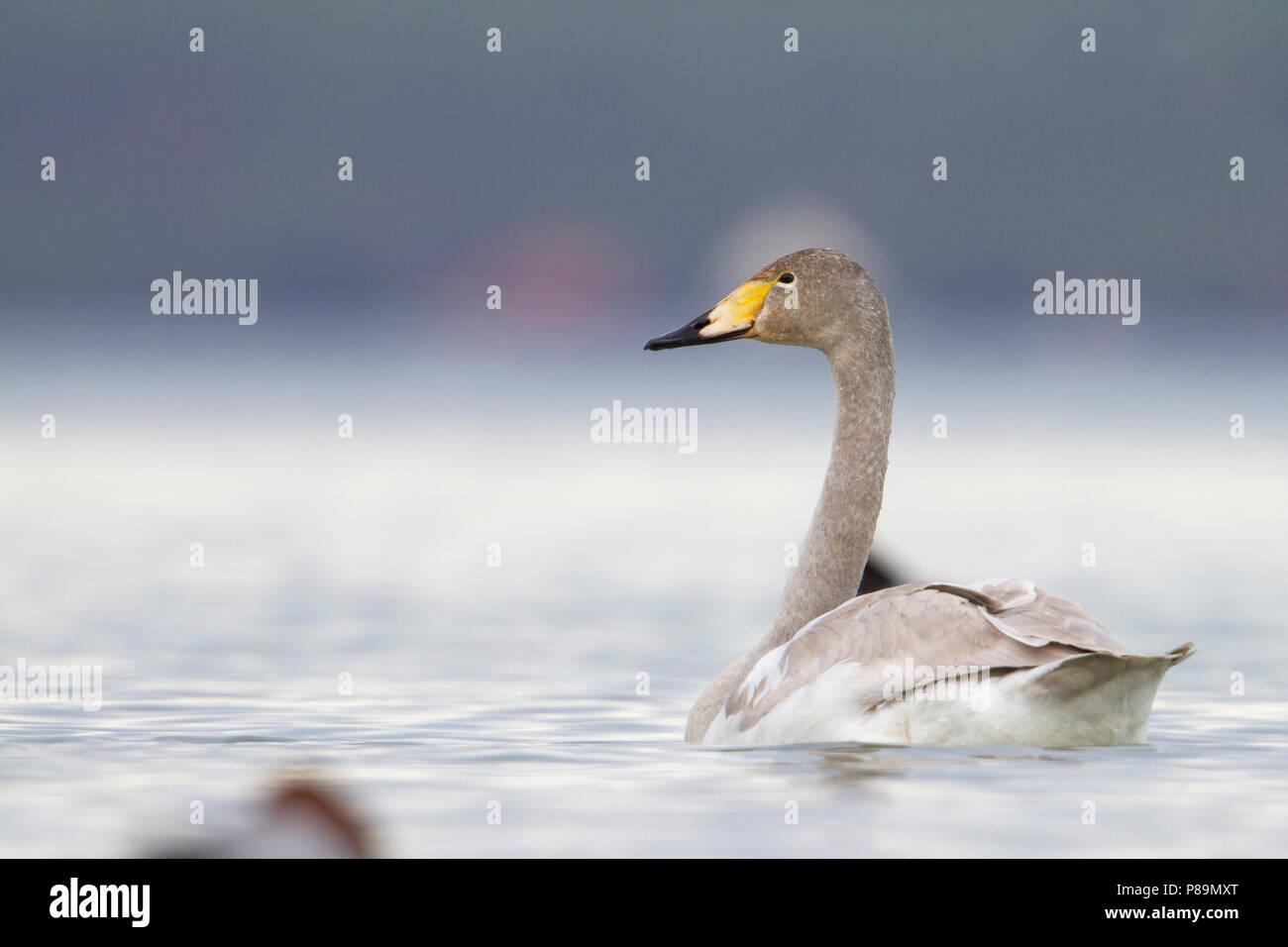 Whooper Swan - Singschwan - Cygnus cygnus, Switzerland, 2nd cy Stock Photo