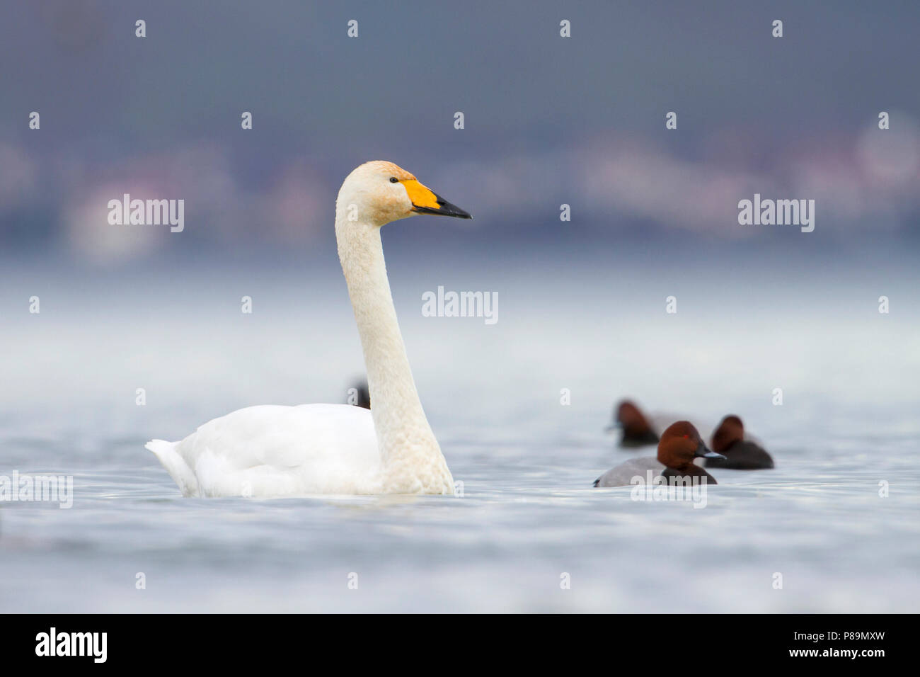 Whooper Swan - Singschwan - Cygnus cygnus, Switzerland, adult Stock Photo