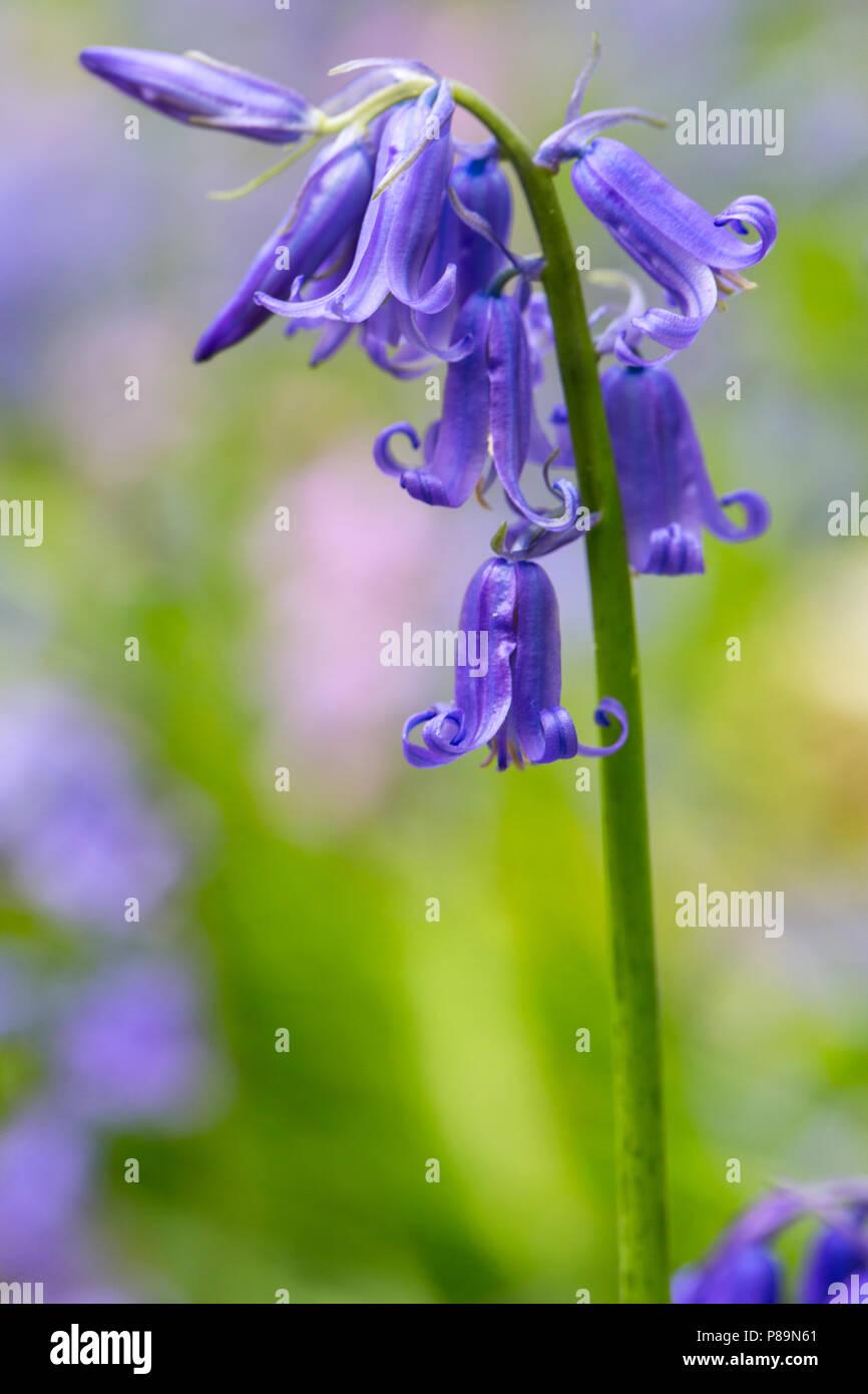 Wilde hyacint, Bluebell Stock Photo