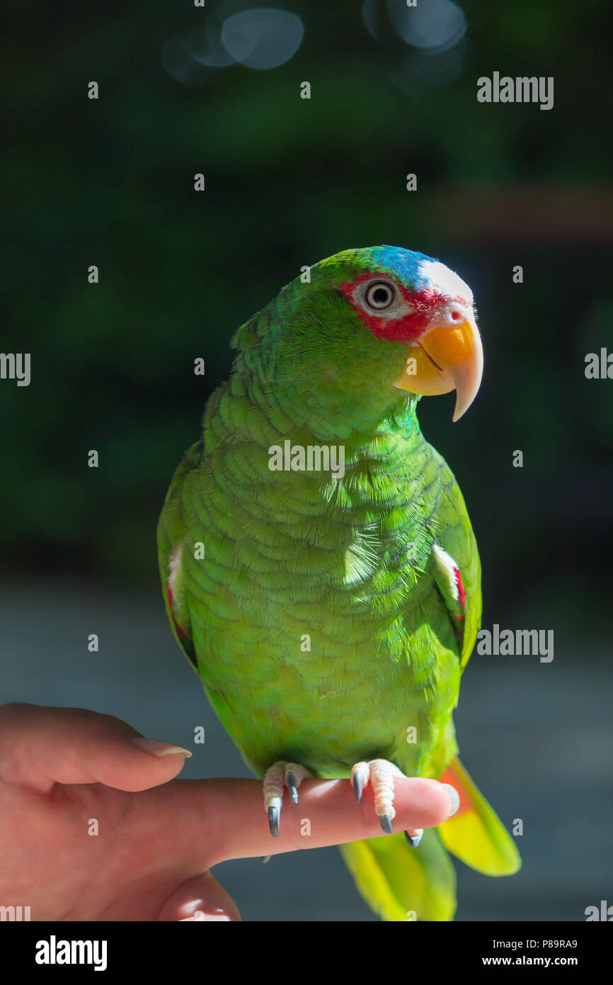 Colorful wild birds are rescued from illegal pet owners. They are among the smartest anuimals and can repeat between 40 and 80 words. - Stock Image