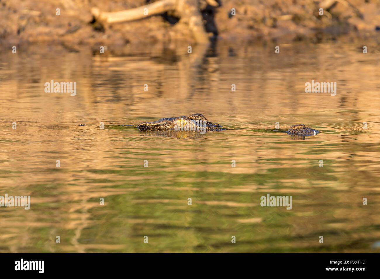 Saltwater crocodile in Corroboree Billabong, Mary River Wetlands, Northern Territory Stock Photo