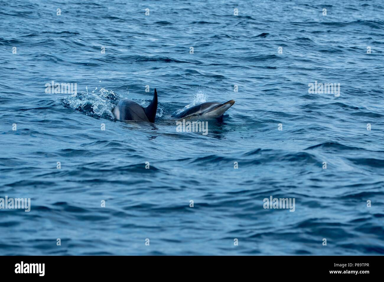 Common dolphins at Pico Island - Stock Image