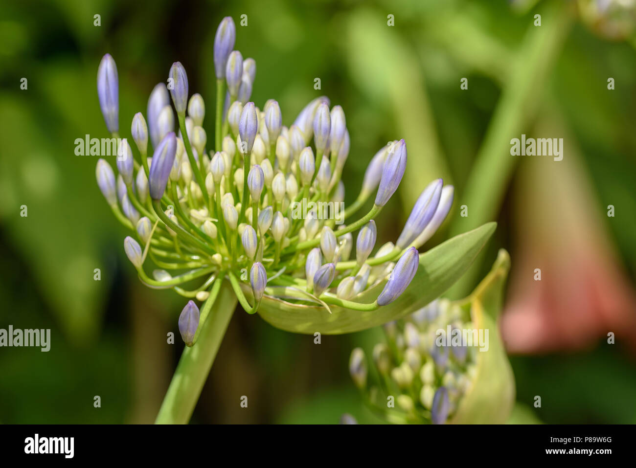 Lily of the Nile (Agapanthus ) Stock Photo
