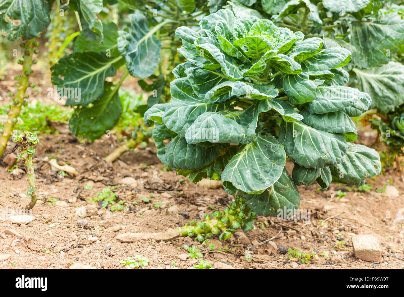 how to grow brussel sprouts uk